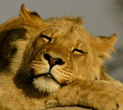 Sleeping lion. A young male african lion sleeping Stock Photo