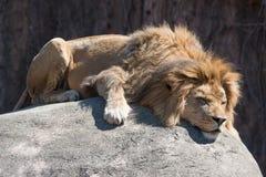 Free Sleeping Lion Stock Photos - 54396713