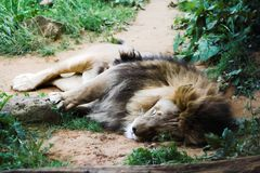 Sleeping lion. Old lazy lion sleeping on sand stock photos