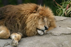 Sleeping lion. Portrait of sleeping lion on rock outdoors Royalty Free Stock Photo