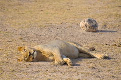 Sleeping lion, amboseli national park, kenya royalty free stock images