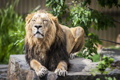 Sleeping Lion. Animals King with Eyes Closed. Tree on Background stock photography