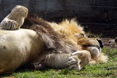 Sleeping Lion in captivity. Lion in captivity.... a wild animal without freedom Royalty Free Stock Photography