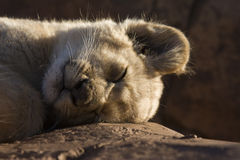 Sleeping lion cub. Portrait of a sleeping lion cub on rock Stock Image