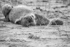 Sleeping Lion cub in black and white. Full Lion cub sleeping on hos back in black and white in the Kruger National Park, South Africa royalty free stock photography