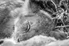 Sleeping Lion cub in black and white. Sleeping Lion cub in black and white in the Kruger National Park, South Africa stock photography