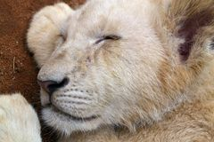 Sleeping lion cub head. Lion cub head with closed eyes, sleeping Stock Images