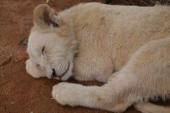 Sleeping lion cub. Lion cub head with closed eyes, sleeping on red soil floor Stock Image