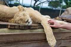 Sleeping lion cub and touch hand Royalty Free Stock Photos