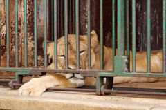 Sleeping lion Royalty Free Stock Images