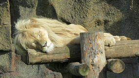 Sleeping lion Stock Images