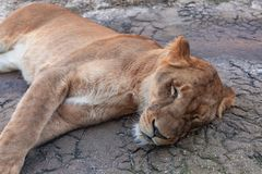 Sleeping lion laying on the floor royalty free stock images