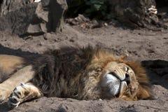 Sleeping lion Stock Photography