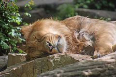 Sleeping lion. Light brown lion sleeping on the rocks. Front view of his face, closeup photo. Zoo of Mulhouse in France Stock Image