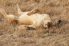 Sleepy lion in evening sun in Serengeti of Tanzania