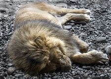 Sleeping lion 1 Royalty Free Stock Photo