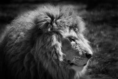 Sleeping lion. A male lion which was awakened Royalty Free Stock Photos