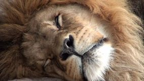 Sleeping lion stock video