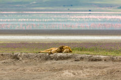 Sleeping Lion In Ngorogoro Crater Royalty Free Stock Photo