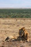 Sleeping lion in Ngorongoro Royalty Free Stock Photo