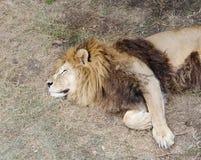 Sleeping lion,Safari Park Taigan (lions Park), Crimea. Stock Images