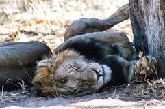 Sleeping lion. Lion Sleeping in the shade of a tree, at Serengeti, Tanzania Royalty Free Stock Image