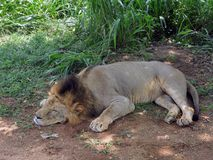 Sleeping Lion in sri lanka. A lion residing in a national park in Sri Lanka by Imported from Africa.he is sleeping well Royalty Free Stock Image