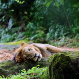 Sleeping Lion. A Tired Lion Sleeping on the Ground Royalty Free Stock Photos