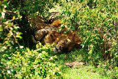 Sleeping Royalty Free Stock Photo
