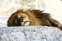 Sleeping lion. In the Warsaw zoo Royalty Free Stock Image