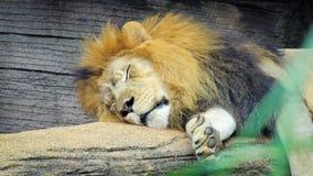 Sleeping Lion Royalty Free Stock Photo