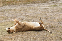 Sleeping  Lioness Stock Image