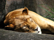 Sleeping Lioness Stock Photo