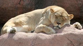 Sleeping Lioness. A female lion asleep on a rock Stock Image