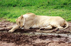 Sleeping lioness Royalty Free Stock Photos