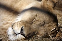 Sleeping lioness Stock Photography