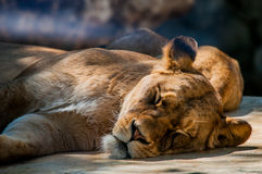 Sleeping Lioness. A detailed shot of a Lioness resting on the noon sun Royalty Free Stock Photos