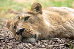Sleeping lioness Stock Image