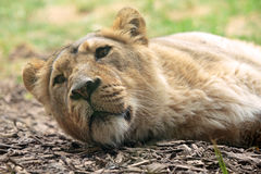 Sleeping lioness. A female lion (Panthera leo) is sleeping on the ground stock photo