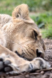 Sleeping lioness Royalty Free Stock Photography