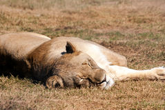 Sleeping lioness Royalty Free Stock Image