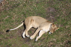 Sleeping lioness. Lying on grass, viewed from above Royalty Free Stock Images