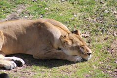 Sleeping lioness. Lying on green grass Stock Photography