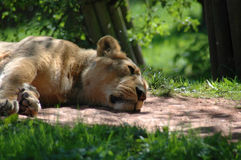 Sleeping Lioness. A lioness sleeping in the midday sun very relaxed pose Royalty Free Stock Photography