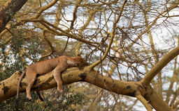 Free Sleeping Lioness On A Tree Royalty Free Stock Photo - 24885435