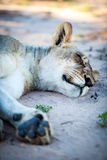 Sleeping lioness. Lioness sleeping on the sand in the shade after a big kill Royalty Free Stock Images