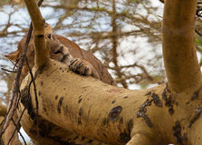 Sleeping lioness on a tree Royalty Free Stock Photos