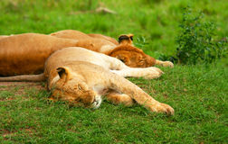Sleeping lions Royalty Free Stock Photography