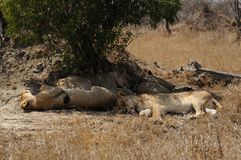 Sleeping Lions. This lions are sleeping in the shadow of a tree Royalty Free Stock Photos