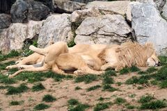 Sleeping lions Royalty Free Stock Images